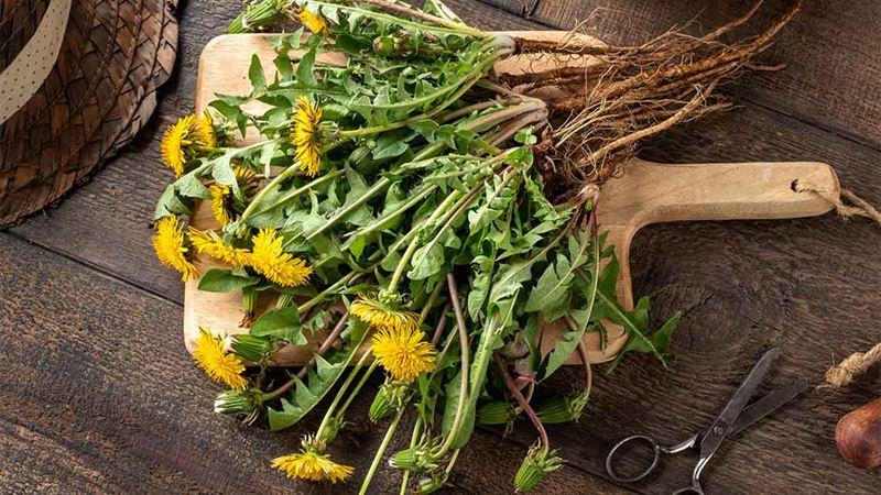 Profumo di primavera: Alla scoperta del Tarassaco, erba dai mille usi