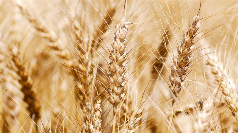 Una farina di alta qualità che cresce nei campi tra le province di Torino e Cuneo
